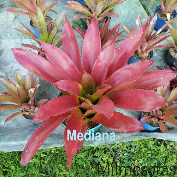 Aechmea latifolia mediana 2