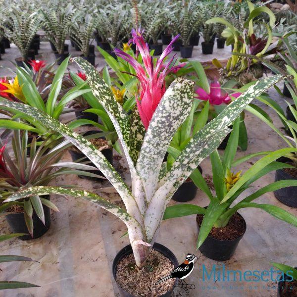 Planta de Billbergia