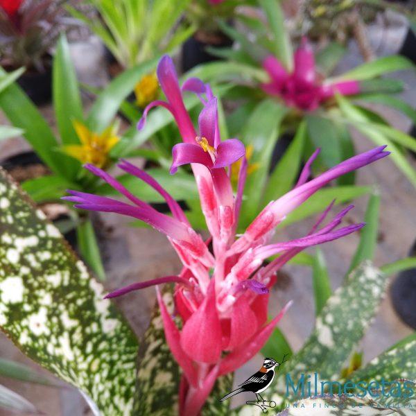 Flor de Billbergia